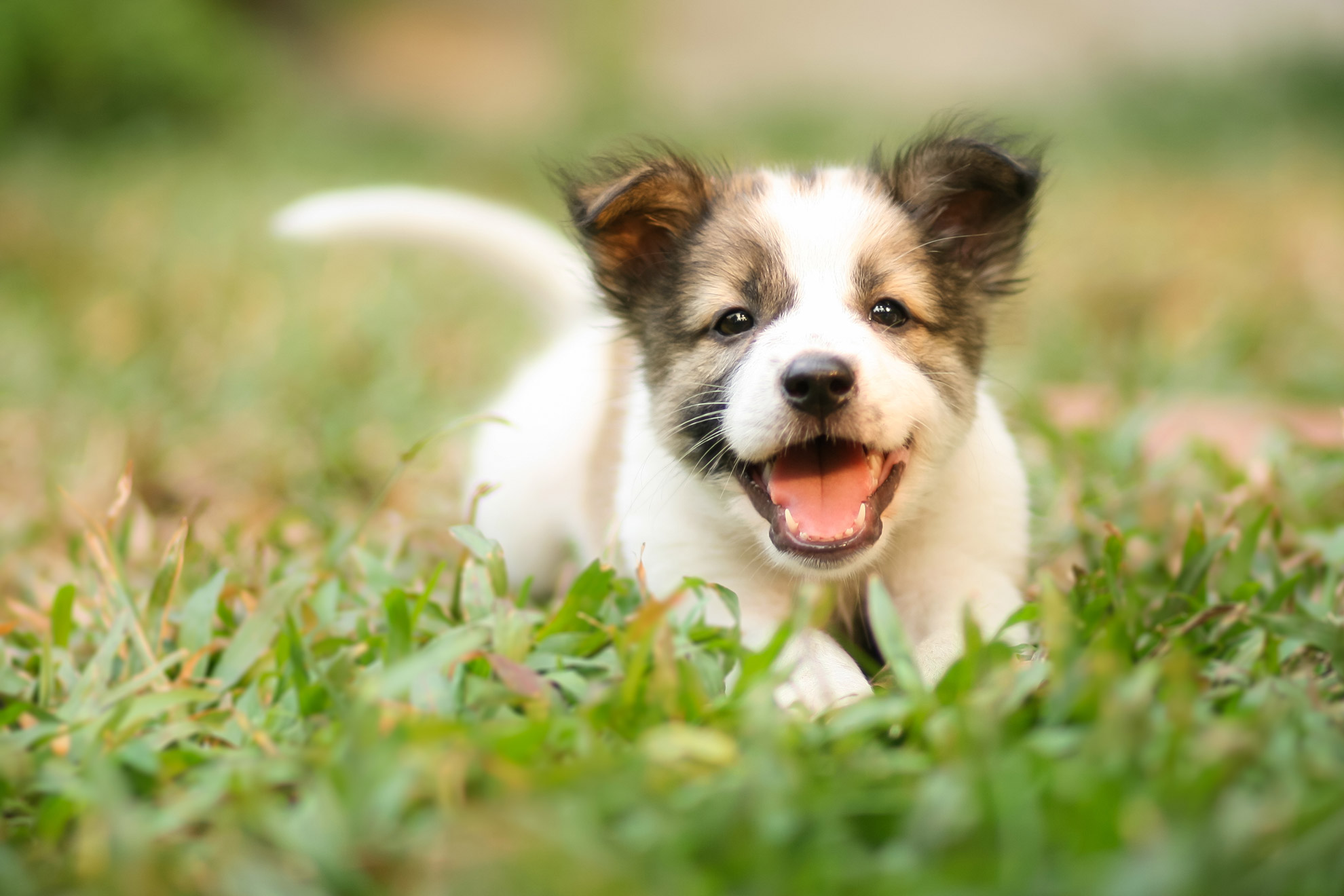 Small puppy running in the grass